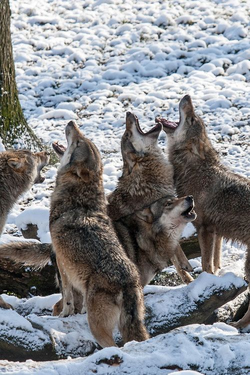 Wolves are my life and my family, so you can count on it that if I see you even try to lay a pinkie on one I would hunt you down