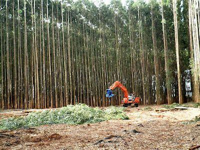 Reflora-Via: Malefícios do reflorestamento com eucalipto