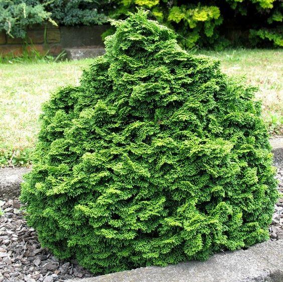 dwarf hinoki cypress chamaecyparis obtusa nana gracilis. Black Bedroom Furniture Sets. Home Design Ideas