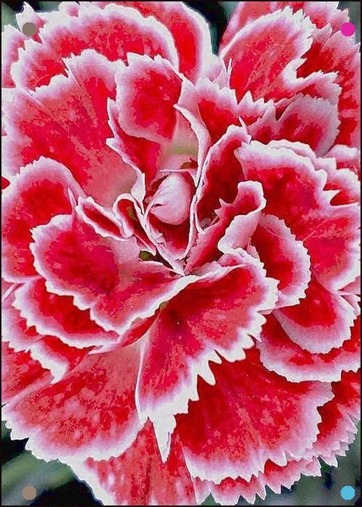 Carnation By Cj Anderson Carnation Flower Carnation Plants Beautiful Flowers Garden
