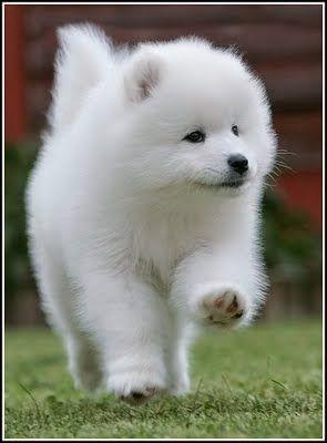 Samoyed, Samoyed puppies and Puppys on Pinterest