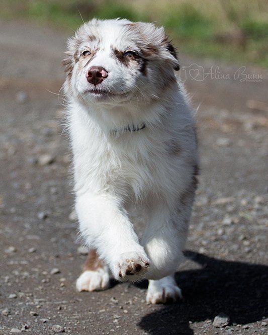 Equicani Equi Cani Instagram Fotos Und Videos Australian Shepherd Red Merle Bi Blue Eyes Australian Shepherd Dogs Shepherd