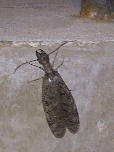 pliers with wings. not sure i like these gals, but they fascinate the fuck out of me! it's called a Dobsons fly, so i guess i dig Dobson stuff! just thought of that!