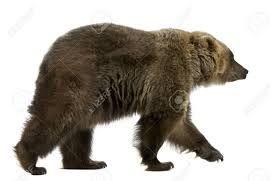 """Résultat de recherche d'images pour """"ours brun"""""""
