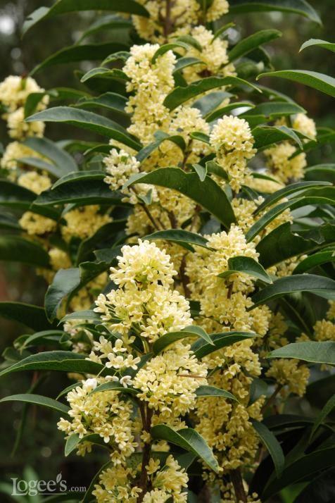 13 Best Fragrant Indoor Plants Osmanthus Fragrans Fragrant