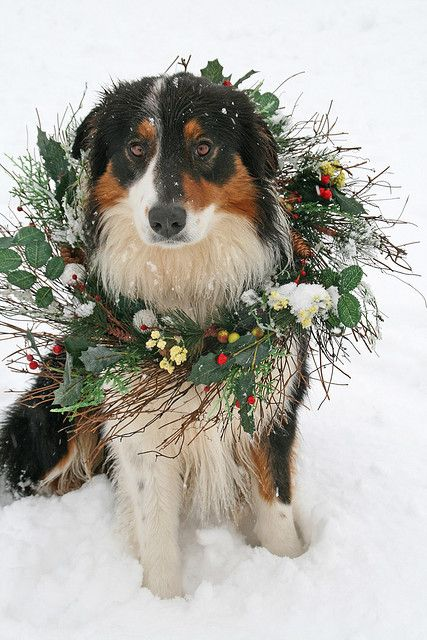 Christmas dog by susyr22, via Flickr #Holiday #Dogs Australian #Shepherd Puppy