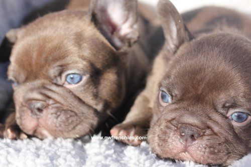 French Bulldog Coat Colors Blue French Bulldog Puppies Brindle