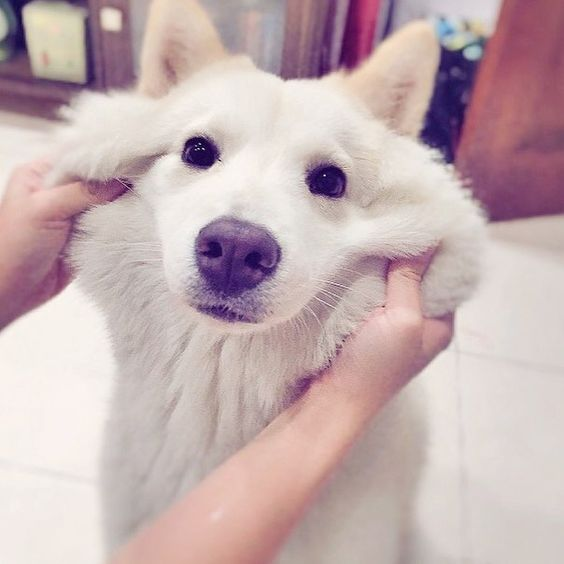 19 mutts that prove mutts are awesome! Chowsky (Chow+Husky)
