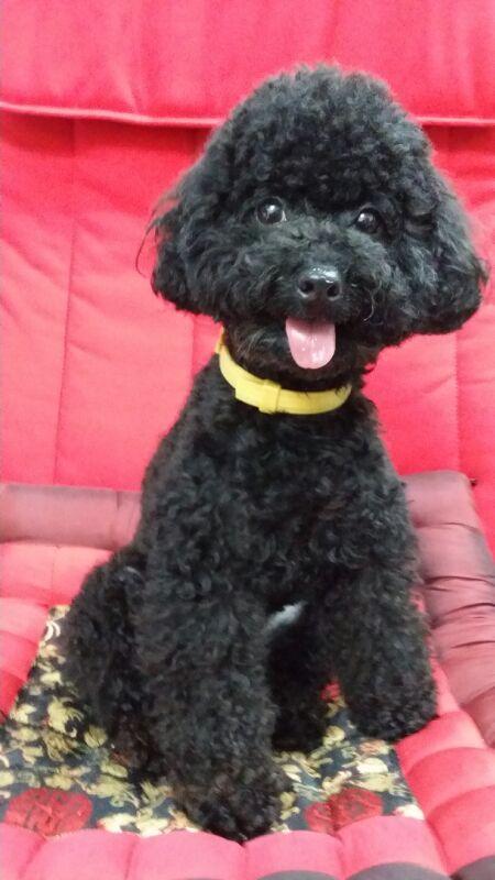 Black Toy Poodle On Pink Quilt Black Poodle Portraits