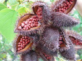 Urucum | Plantas Medicinais - Cultivando.com.br