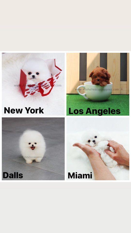 Teacup Puppies Yorkie Princesses Puppies Yorkie Teacup In 2020 Teacup Puppies Teacup Puppies For Sale Pomeranian Puppy Teacup
