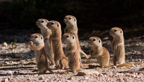 Baby suricate