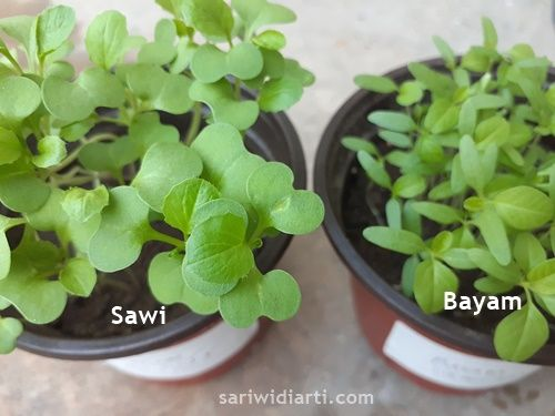 cara menanam sayuran di pot
