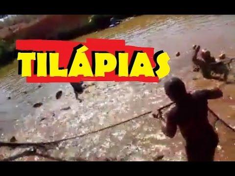 TILÁPIAS - CONTATO: MARCOS 61 99543313