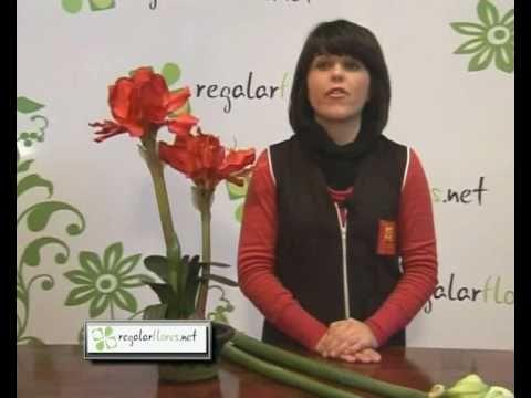 Consejos  para la Flor Amarylis