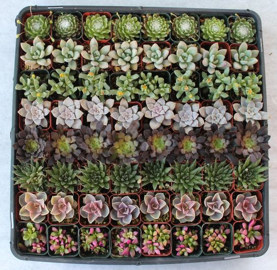 100 Lovely Succulents  Wedding Party Gift Favors in their plastic 2 inch containers vintage classical style and very fun. $115.00, via Etsy by SANPEDROCACTUS