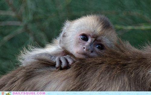 White Faced Capuchin Monkey Baby Animals Pictures Zooborns Capuchin Monkey Pet