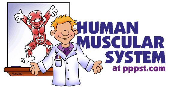 Muscular System - Human Body FREE Presentations in PowerPoint format, Free Interactives and Games