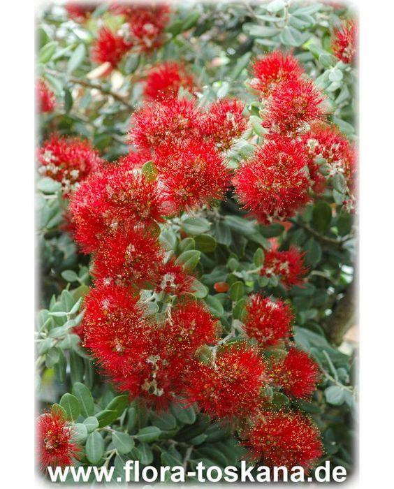 Metrosideros Excelsa Eisenholzbaum Pohutukawa Neuseelandischer Weihnachtsbaum Flora Toskana Eisenholzbaum Pflanzen Exotische Pflanzen