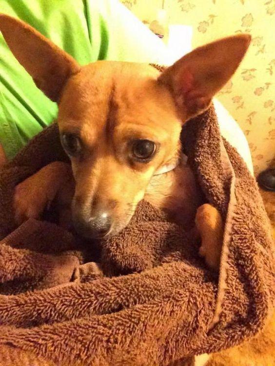 Adopt Malachai On Chihuahua Rescue Chihuahua Mix Chihuahua