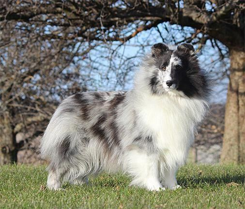 Shetland Sheepdog Energetic And Playful Chien Shetland Berger Des Shetland Shetland