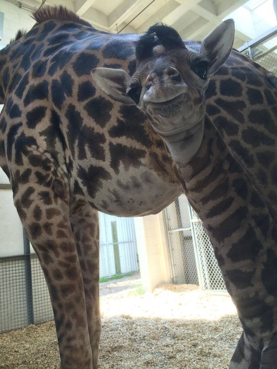 The Virginia Zoo is proud to announce the birth of a baby Masai Giraffe on July 23. The yet-to-be-named male calf was born to five-time mother Imara and father Billy. Check out ZooBorns to learn more and see more! http://www.zooborns.com/zooborns/2015/08/masai-giraffe-calf-smiles-for-the-camera.html