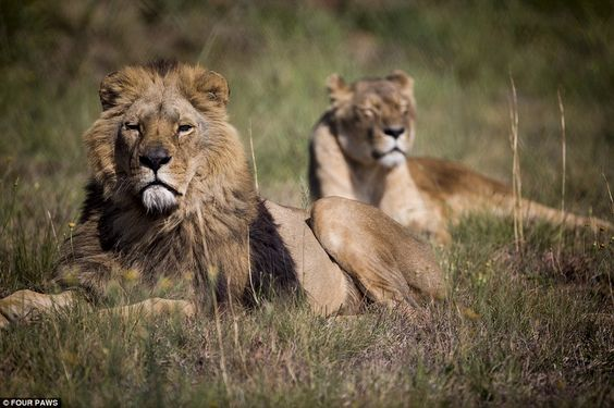 Natural habitat: Lidia (right) and 12-year-old Maron (left) were among the five big cats who made the 8,000-mile journey from squalid conditions in Romania to a lion sanctuary in South Africa
