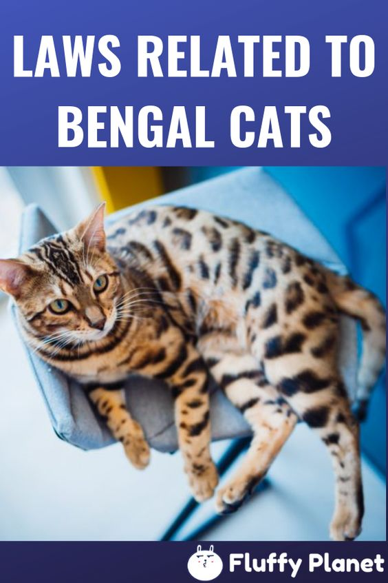 Laws Related To Bengal Cats In Different States Bengal Cat Bengal Cat Kitten Sphynx Cat Clothes