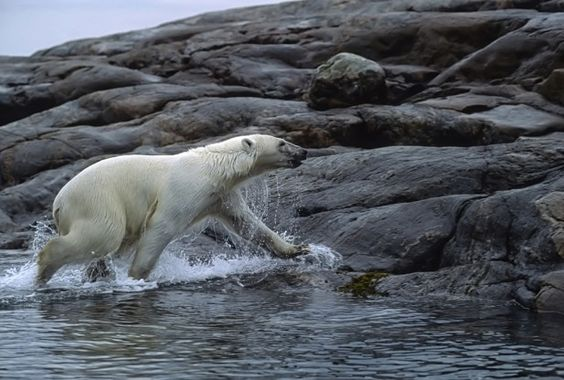 Appeals Court Upholds Polar Bear's Endangered Species Act Protections