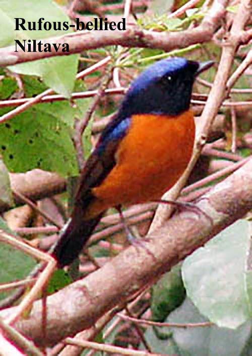 Pin On Bird Watching In Thailand