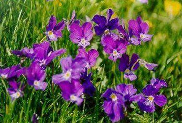 Quelle est votre fleur de naissance février