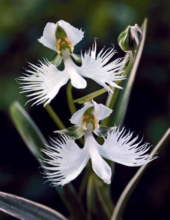 L'#Orchidée colombe
