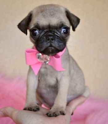 tiny toy pug puppy! | puggies | Pinterest | Toys, Baby ...