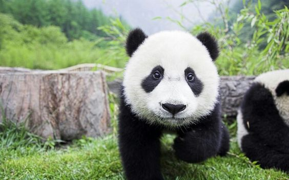 Oinn que fofura esse bebe panda