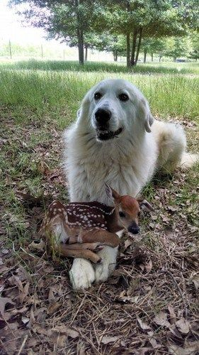 Large Dog protecting Precious Tiny Fawn.: