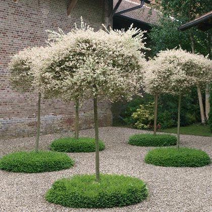 Pinterest the world s catalog of ideas - Salix hakuro nishiki taille ...