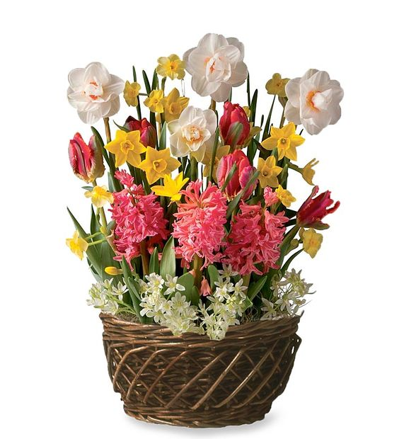 Pink And Yellow Bulb Garden Gift Basket With Daffodils And Hyacinths    Sweet Smelling And Colorful