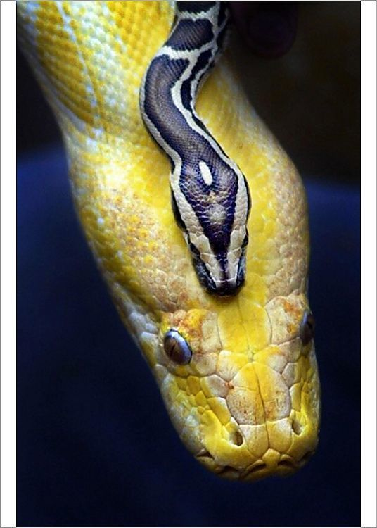 Photograph Baby Burmese Python Butterfly World Centre Edinburgh 7x5 Inch 18x13cm Photograph Printed In The Uk In 2020 Burmese Python Cute Reptiles Pet Snake