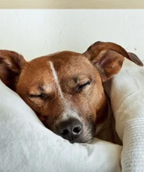 Dolor De Estómago En Perros Signos Y Síntomas Mis Animales Perros Adiestramiento Perros Dolor De Estomago