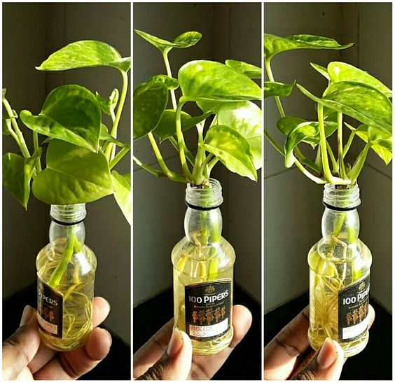 Money Plant / Devil's Ivy in a tiny liquor bottle and ...