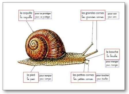 Affichage pour illustrer une séquence sur les escargots en maternelle