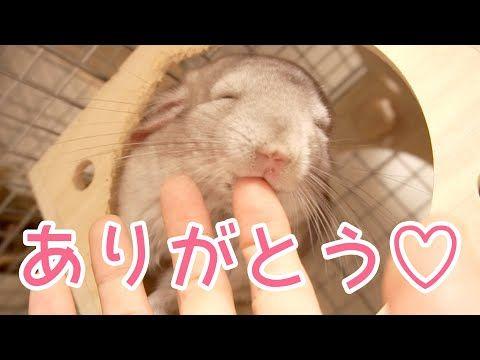 チンチラ なつくとこうなる チンチラからのお返しスキンシップが可愛すぎる Youtube チンチラ チンチラ ネズミ ハムスター