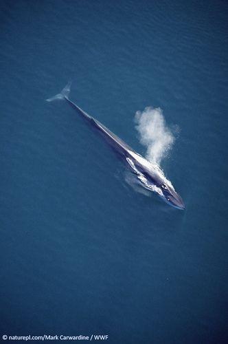 Fin whale - Balaenoptera physalus (by project.thalassa)