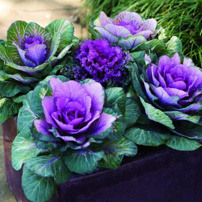 Kale in a container    Because these showy cabbage relatives tolerate cold weather and can hold their brilliant color all the way into spring, they're ideal for growing in pots to display on porches, patios, or beside entryways. They grow 1 to 2 feet tall.