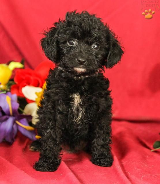 Maria Cavapoo Puppy For Sale In Mifflintown Pa Lancaster Puppies Cavapoo Puppies Cavapoo Puppies For Sale Cavapoo
