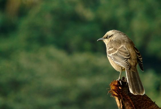Photo Chalk browed mocking bird by Vivian Alves on 500px