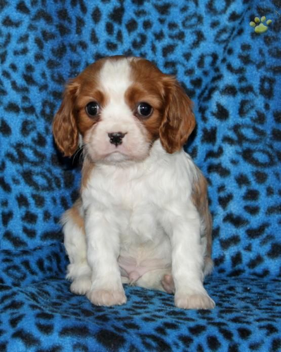 Lucky Cavalier King Charles Spaniel Puppy For Sale In New Holland Spaniel Puppies For Sale King Charles Cavalier Spaniel Puppy Cavalier King Charles Spaniel