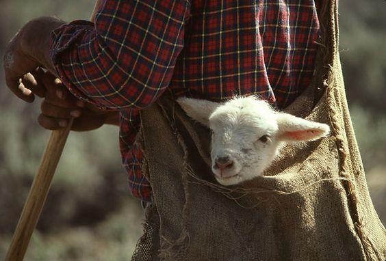 Lam and shepherd.