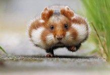 15+ hamsters adorables qui sont tellement mignons que vous allez en faire une overdose.