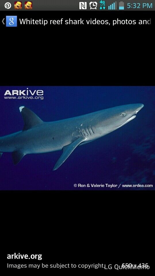 White tipped reef shark